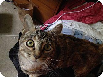 American Shorthair Kitten for adoption in Orinda, California - Rhyanna