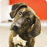 Adopt A Pet :: HAMMER - Boston, MA