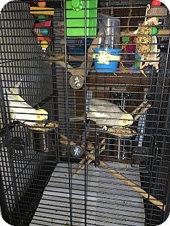 Cockatiel for adoption in St. Louis, Missouri - Percy & Pricilla