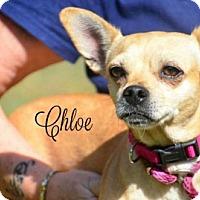 Adopt A Pet :: Chloe - Willingboro, NJ