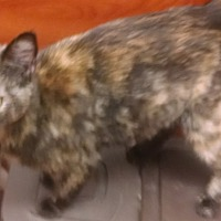 Domestic Mediumhair Cat for adoption in Salisbury, North Carolina - Bobo