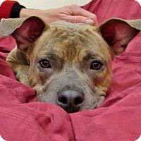Adopt A Pet :: CHAPPIE - Boston, MA