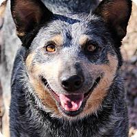 Adopt A Pet :: MERCEDES - Westminster, CO
