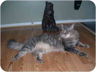 Maine Coon Cat for adoption in Howell, New Jersey - Jackson