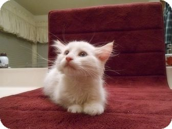 Domestic Longhair Kitten for adoption in Phoenix, Arizona - SNOWBALL