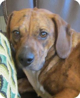 Beagle/Plott Hound Mix Dog for adoption in Lincolnton, North Carolina - Faith