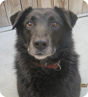 Labrador Retriever/Australian Shepherd Mix Dog for adoption in Chicago, Illinois - Black Jack (ADOPTED!)
