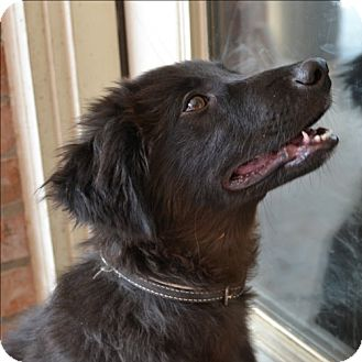 ... Puppy | Weatherford, TX | Labrador Retriever/Poodle (Standard) Mix