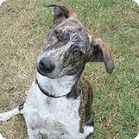 Adopt A Pet :: Fancy Rae - Austin, TX