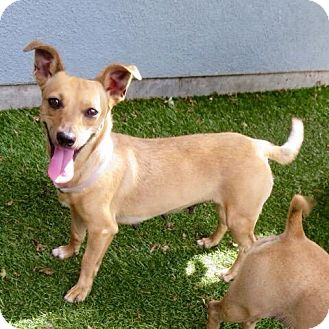 Chihuahua Mix Dog for adoption in Surrey, British Columbia - Adele