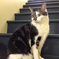 Adopt A Pet :: Prissy - Topeka, KS