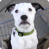 Adopt A Pet :: Yukon - Detroit, MI