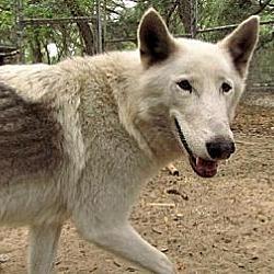 Photo 3 - German Shepherd Dog/Alaskan Malamute Mix Dog for adoption in Orlando, Florida - Wolfdog - Kito