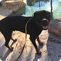 Adopt A Pet :: Brock - Gilbert, AZ