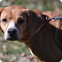 Labrador Retriever/Beagle Mix Dog for adoption in Allentown, Virginia - Princess Kate