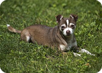 Chihuahua Dog for adoption in Bloomington, Indiana - Panky