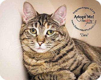 Domestic Shorthair Cat for adoption in Mesa, Arizona - Zena