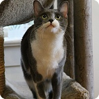 Adopt A Pet :: Lady Windemere - Gaithersburg, MD