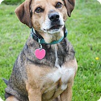 Beagle/Spaniel (Unknown Type) Mix Dog for adoption in Lake Odessa, Michigan - Prince Charles