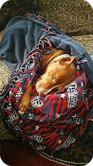 American Pit Bull Terrier Mix Dog for adoption in Kill Devil Hills, North Carolina - Koa