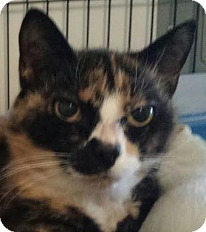 Domestic Shorthair Cat for adoption in Colfax, Iowa - Frannie