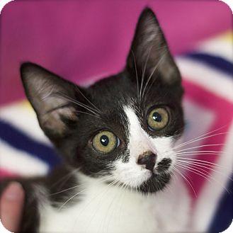 Domestic Shorthair Kitten for adoption in Sioux Falls, South Dakota - Smudge