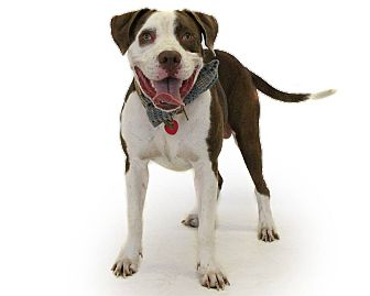 Pit Bull Terrier Mix Dog for adoption in St. Cloud, Florida - Kato