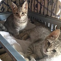 Adopt A Pet :: Tonka and Mack - The Twins - Ephrata, PA