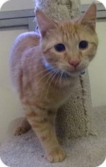 Domestic Shorthair Kitten for adoption in Olive Branch, Mississippi - Thomas