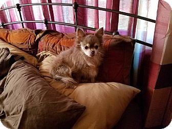 Chihuahua Mix Dog for adoption in ST LOUIS, Missouri - Tara