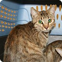 Domestic Shorthair Cat for adoption in Wildomar, California - Teeny