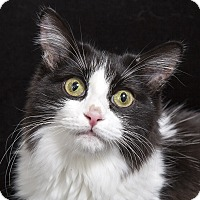 Maine Coon Cat for adoption in Nashville, Tennessee - Eliza Taylor