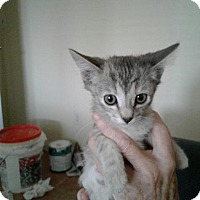 Domestic Mediumhair Kitten for adoption in Sacramento, California - *MINETTE