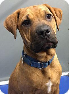 Labrador Retriever/Hound (Unknown Type) Mix Puppy for adoption in Big Canoe, Georgia - Dakota