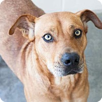 Boxer/Shepherd (Unknown Type) Mix Dog for adoption in Chester Springs, Pennsylvania - Goldie
