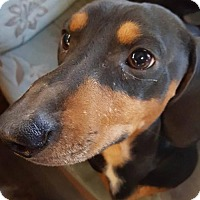 Adopt A Pet :: (Stormin) Norman - Aurora, CO