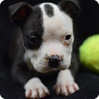 English Bulldog Mix Puppy for adoption in Manhattan, New York - Abagail