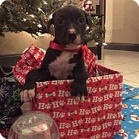 Adopt A Pet :: Kringle - New Port Richey, FL