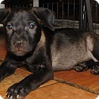 Labrador Retriever/Australian Cattle Dog Mix Dog for adoption in Von Ormy, Texas - Mercy