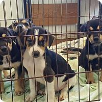 Adopt A Pet :: Walker Pups (4) - Okeechobee, FL