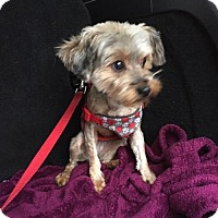 Adopt A Pet :: Tinsel - Tenafly, NJ