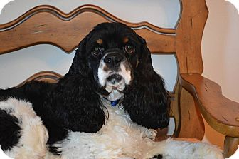 Cocker Spaniel Dog for adoption in Tacoma, Washington - CHARLIE - 5