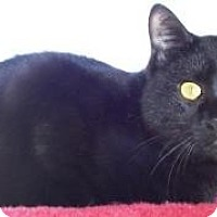 Domestic Shorthair Cat for adoption in Valley Park, Missouri - Rambo