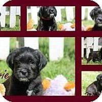 Adopt A Pet :: Clearie - Austin, TX
