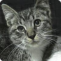 Adopt A Pet :: STONE - Brooklyn, NY