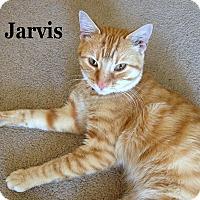 Adopt A Pet :: Jarvis - Bentonville, AR