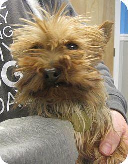 Yorkshire Terrier Nj Ina-Broken Jaw:...