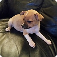 Adopt A Pet :: Dozer - Glendale, AZ
