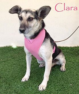 German Shepherd Dog Mix Dog for adoption in San Diego, California - Clara