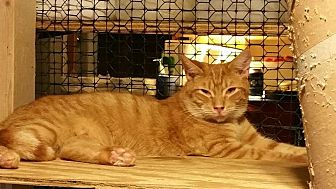 Domestic Shorthair Kitten for adoption in Columbia, South Carolina - Gary (Gar-bear)